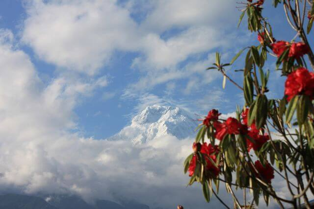 Rhododendrona ramade vackert in Annapurna South