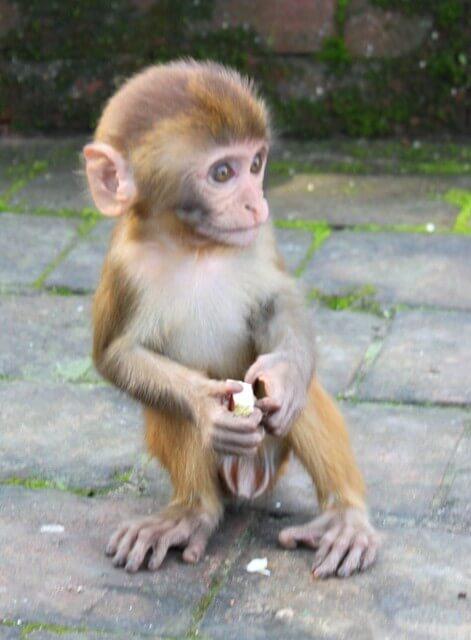 Liten apa vid Monkey Temple, Kathmandu