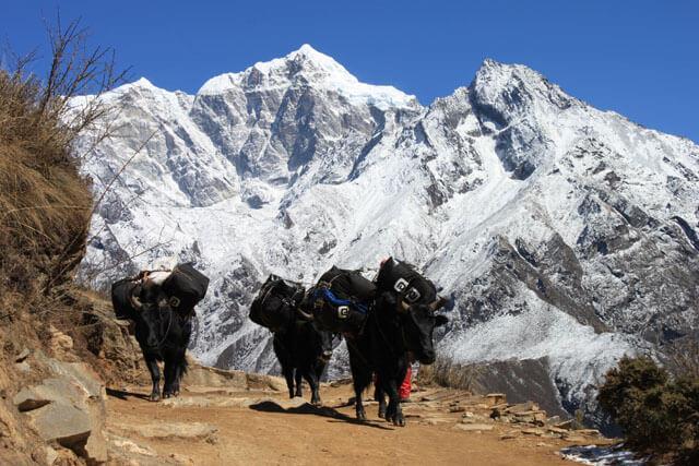 Yakar i Himalaya