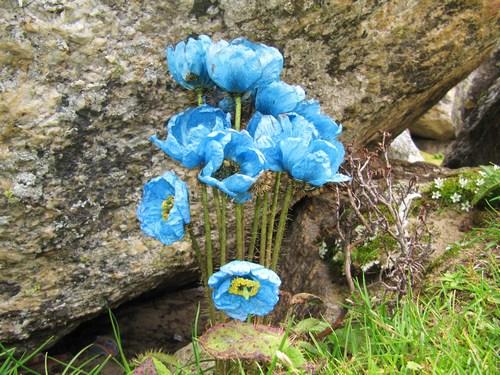 Dessa blommor på väg till Gorak Shep fick oss att häpna - Vilken färgprakt!