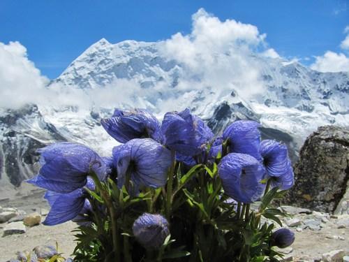 Overkligt blå blommor på vägen ner från Island Peak.